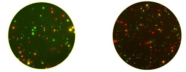 Рис. 64. AID CoV-iSpot обнаруживает реакцию IFN-γ и IL-2 специфически активированных Т-клеток против коронавирусов (смесь пептидов PAN-Corona) и / или SARS-CoV-2 (смесь пептидов SARS-CoV-2).