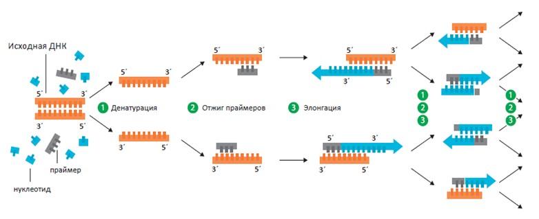 Глава 9. Молекулярно-генетические исследования в иммунологии