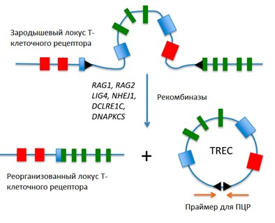 Рис.69. Молекулярные основы диагностики иммунодефицитов используя ПЦР.