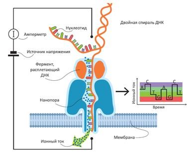 Рис. 76. Принцип мономолекулярного секвенирования