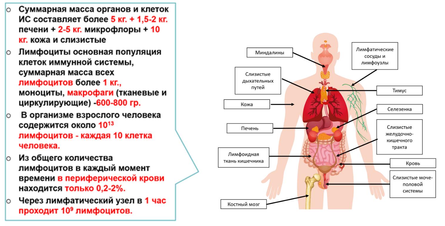 Рис. 1. Иммунная система человека.