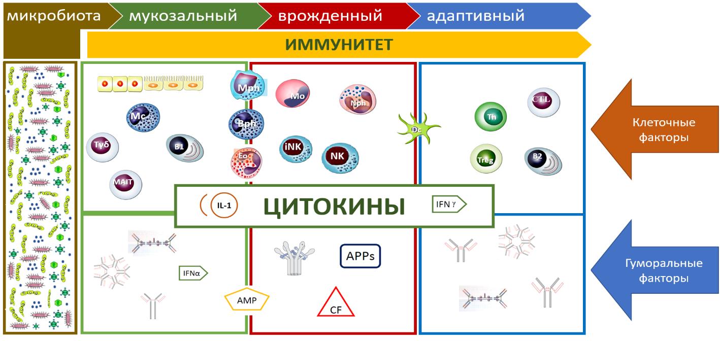 Рис. 2. Функциональная организация иммунной системы человека