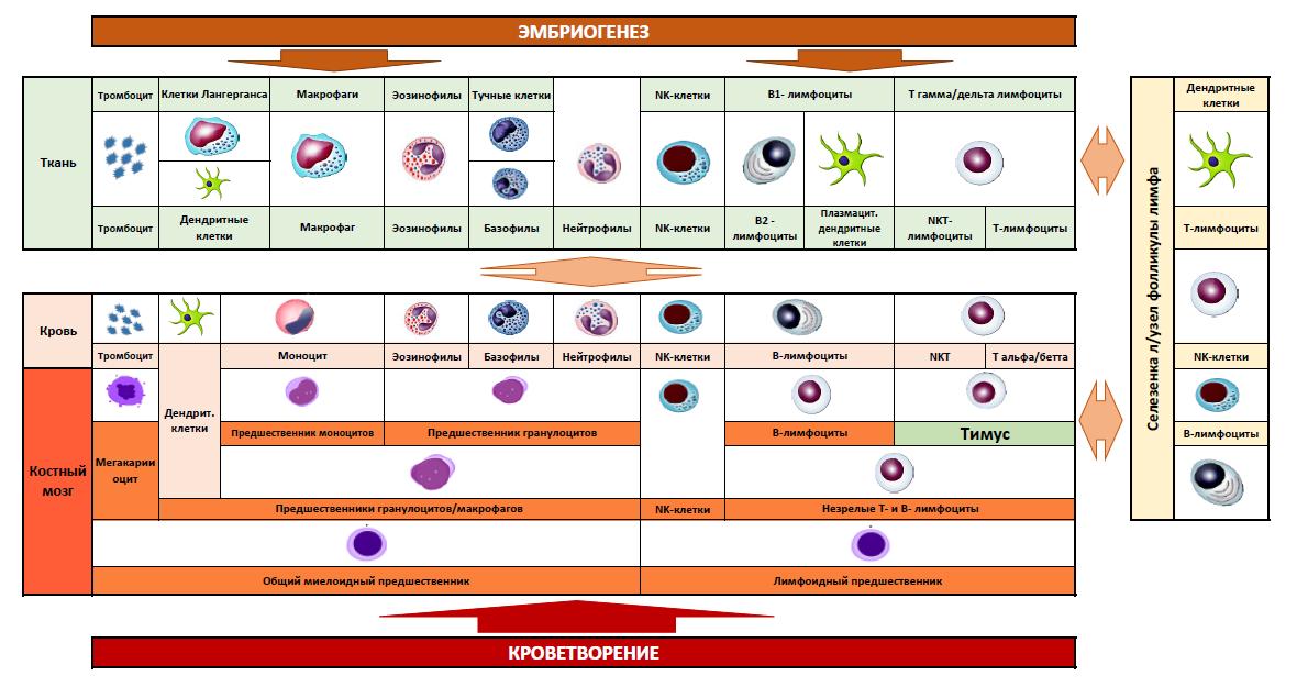 Рис. 3. Схема происхождения клеток иммунной системы.