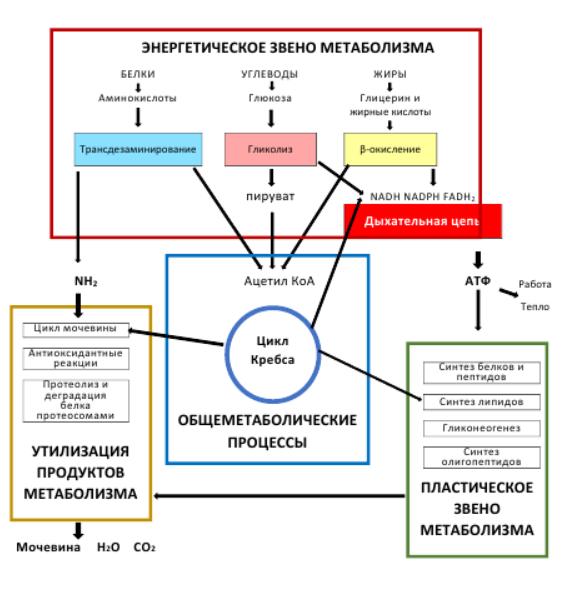 Рис. 5. Основные метаболические пути клеток иммунной системы
