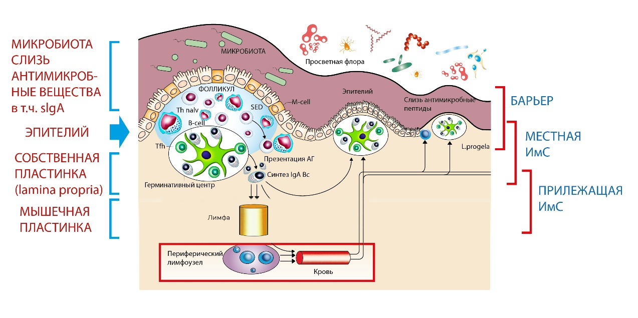 Рис. 10. Организация мукозо-ассоциированной лимфоидной ткани.