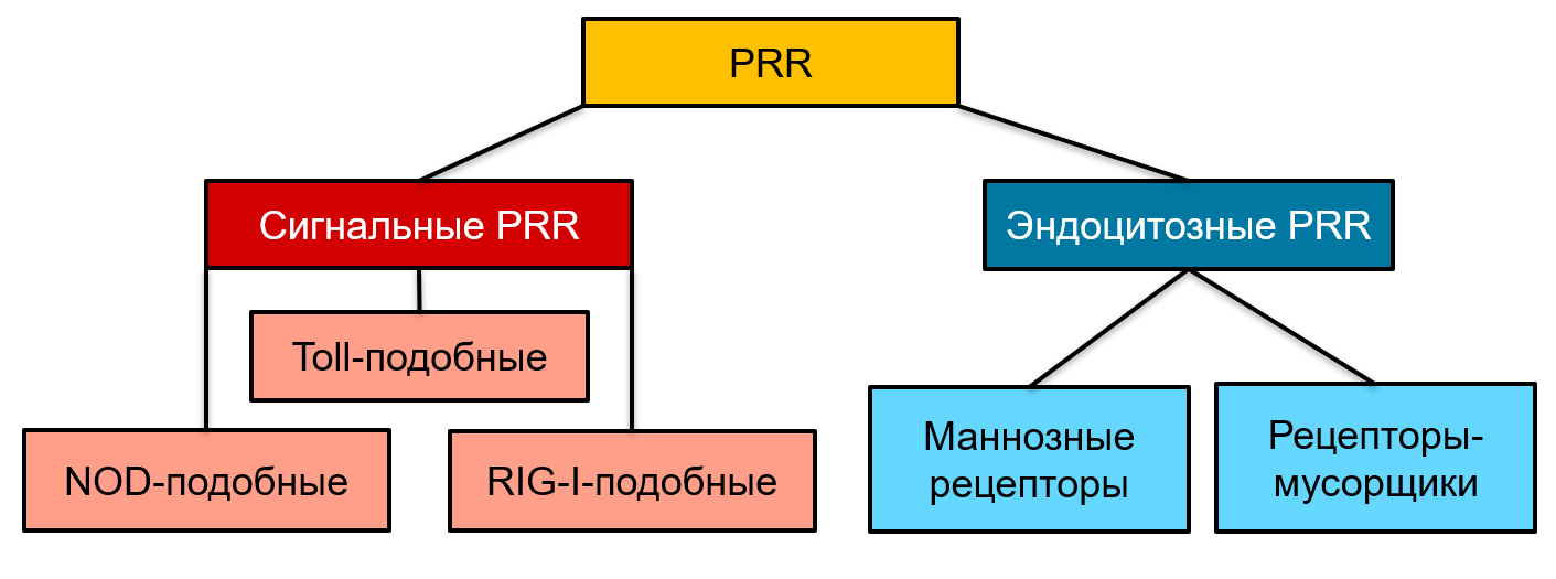 Рис. 12. Патоген-распознающие рецепторы.