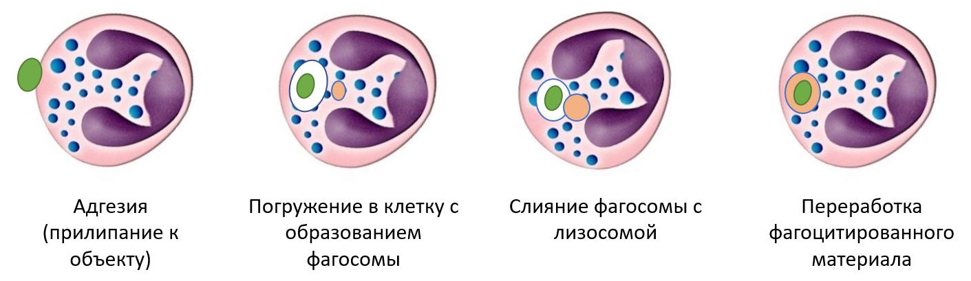 Рис. 14. Этапы фагоцитоза