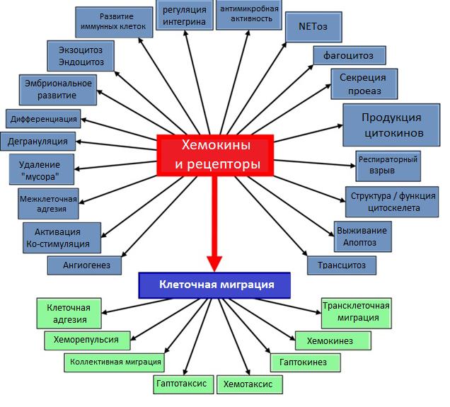 Рис. 19. Функции хемокинов и их рецепторов
