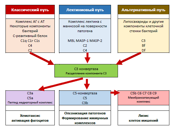 Рис. 22. Система белков комплемента