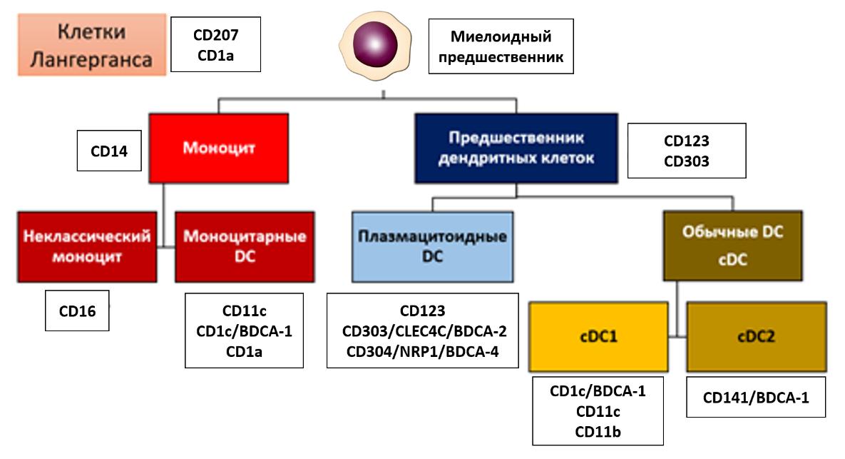 Рис. 23. Подтипы дендритных клеток и их отличительные поверхностные рецепторы