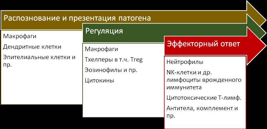 Рис. 89. Этапы развития иммунного ответа