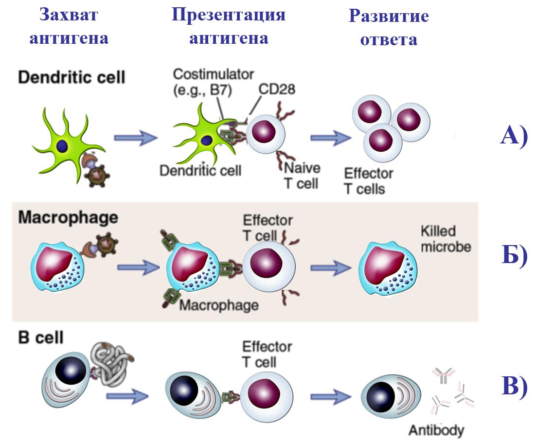 Рис. 26. Основные этапы развития специфического иммунного ответа
