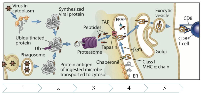 Рис. 27. Презентация антигенов, локализованных в цитоплазме клеток, при помощи МНС I класса – реализация противовирусного и противоопухолевого специфического иммунного ответа