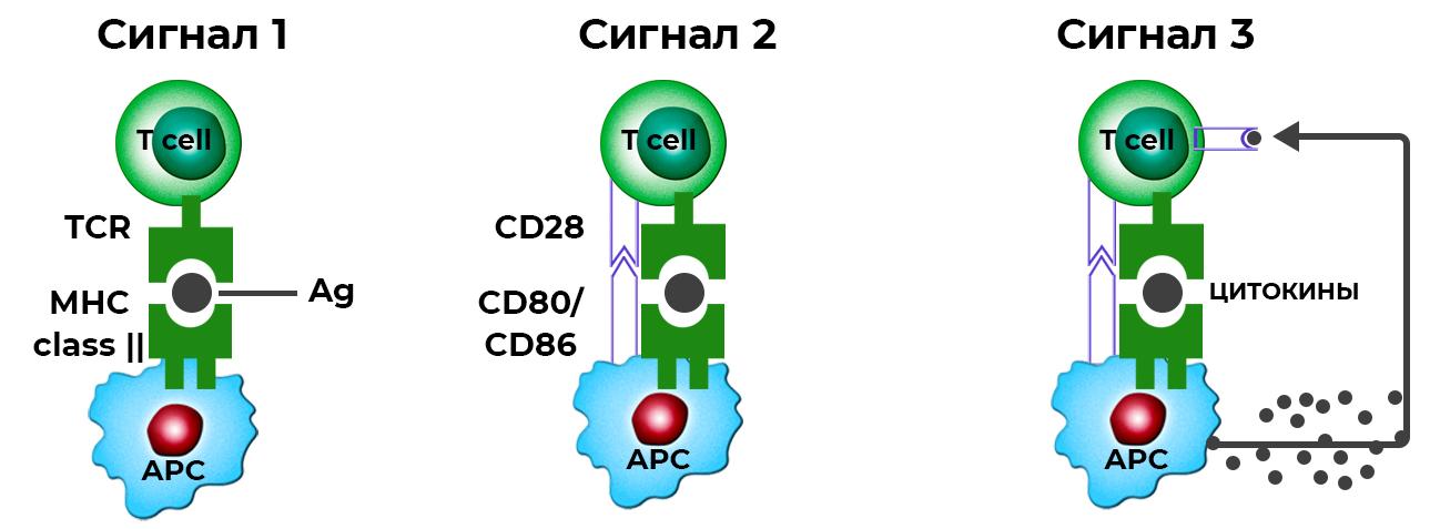 Рис. 29. Схематическое изображение трех основных «сигналов», необходимых для активации Т-лимфоцита и запуска антигензависмой стадии дифференцировки в периферических лимфоидных органах