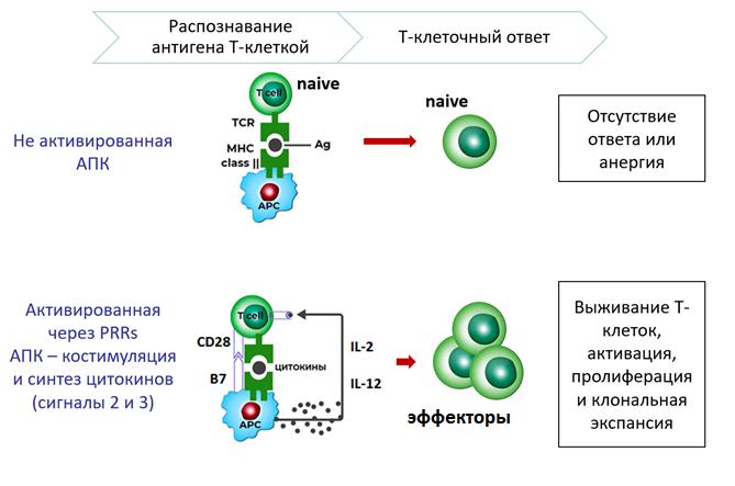 Рис. 30. Костимуляционные молекулы, роль в активации Т-лимфоцитов