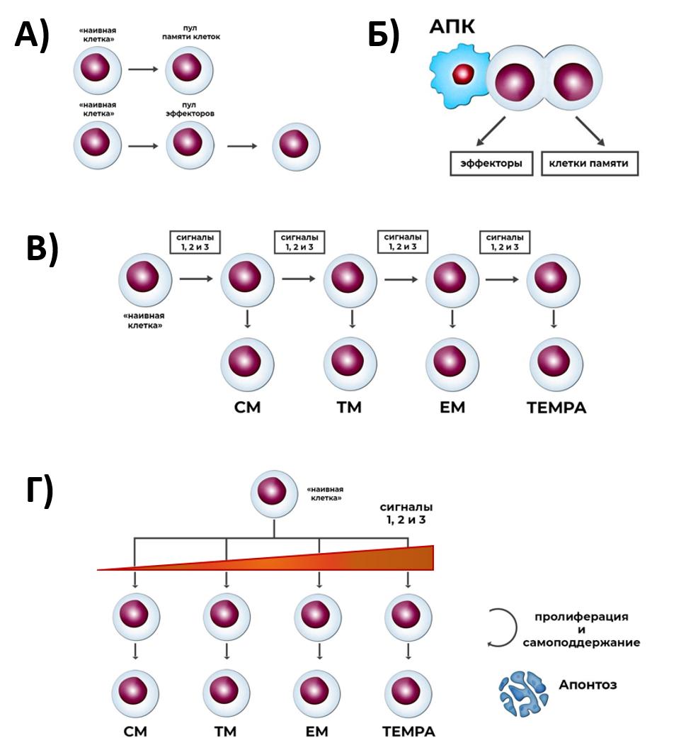 Рис. 31. Основные модели, описывающие формирование клеток памяти и эффекторных клеток в ходе антиген-зависимой дифференцировки CD3+CD8+
