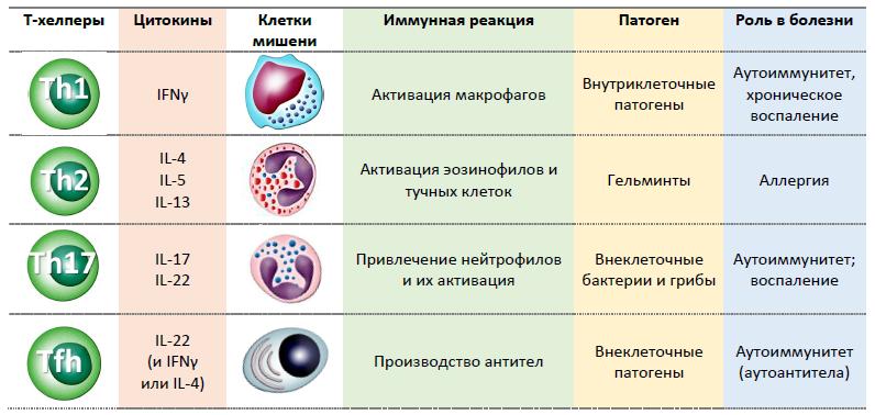 Рис. 32. Основные популяции «поляризованных» Т-хелперов и их мишени