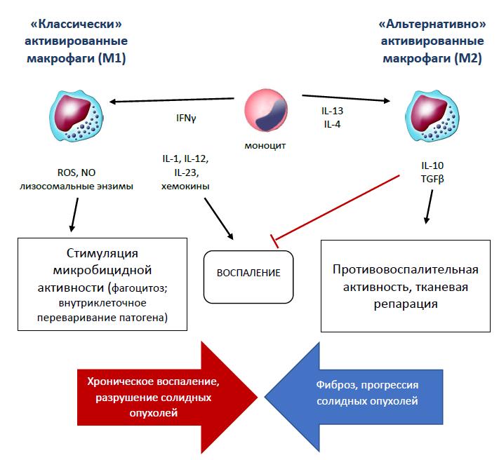 Рис. 33. Роль Тх1 и Тх2 в «поляризации» тканевых макрофагов