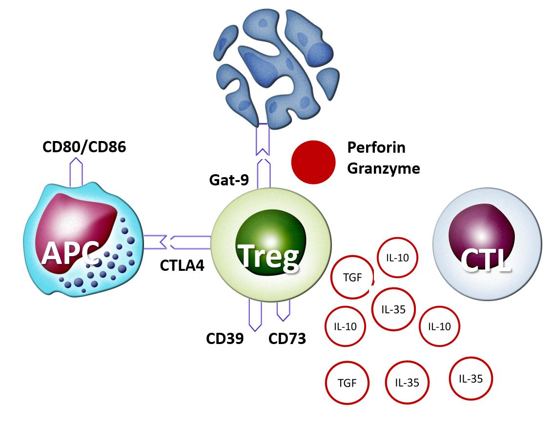 Рис. 36. Эффекторные молекулы регуляторных Т-лимфоцитов